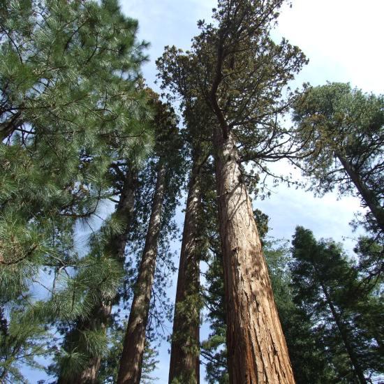 Mariposa Grove, Yosemite